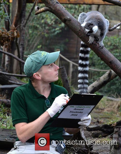 Ring-tailed Lemurs 3