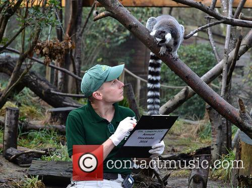 Ring-tailed Lemurs 4