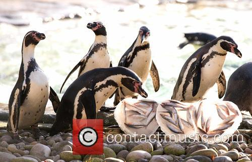 Valentine's treat for ZSL London Zoo's penguins