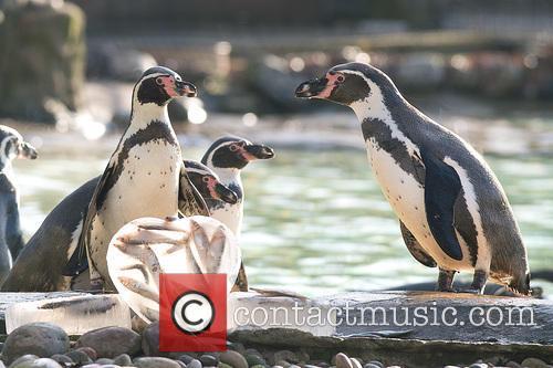 Humboldt Penguins 5