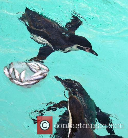 Humboldt Penguins 7