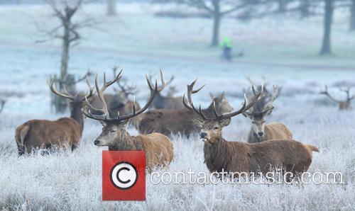 Deer in London Winter