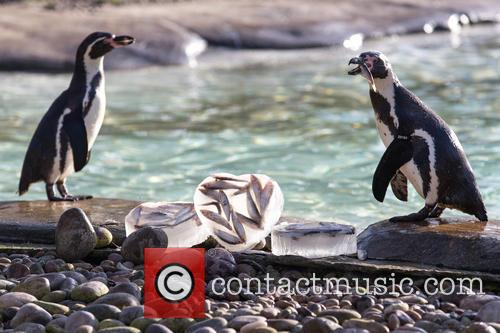 London Zoo's colony of Humboldt penguins pair for...