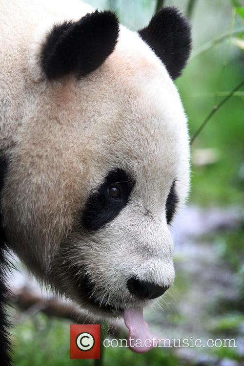 Giant Panda Tian Tian 1