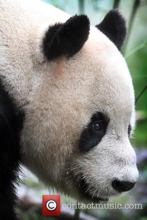 Giant Panda Tian Tian 2