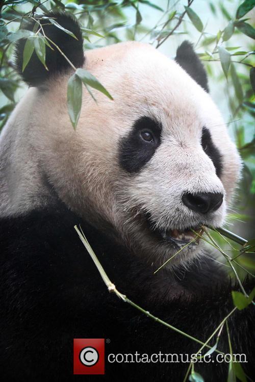 Giant Panda Tian Tian 3