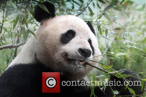 Giant Panda Tian Tian 5