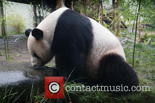 Giant Panda Tian Tian 6