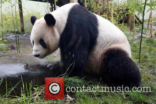 Giant Panda Tian Tian 7