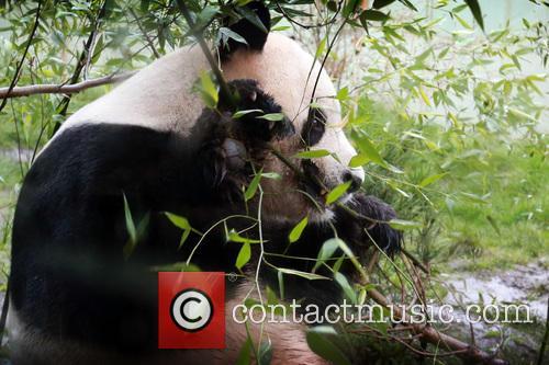 Giant Panda Tian Tian 8