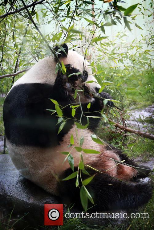 Giant Panda Tian Tian 9