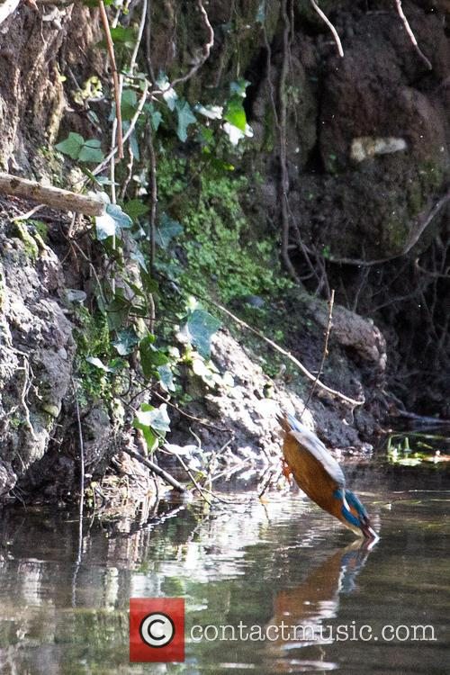 Kingfishers seen on the hottest day of the...