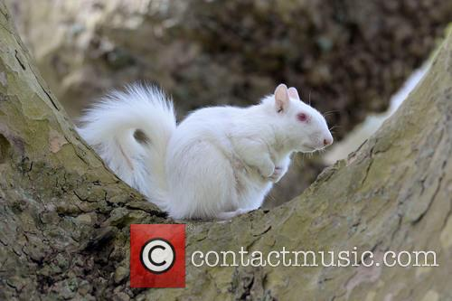 A rare albino squirrel seen in a public...