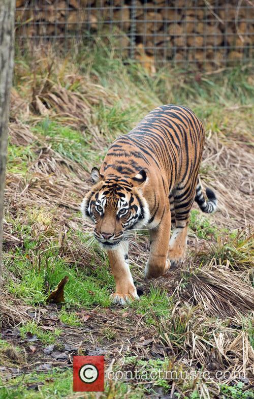 Sumatran Tigers 1