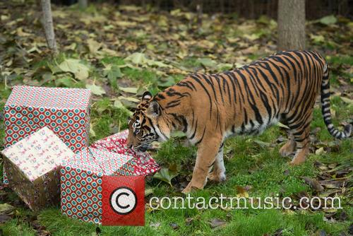 Sumatran Tigers 2