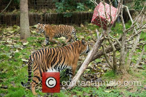 Sumatran Tigers 3