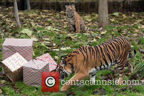 Sumatran Tigers 4