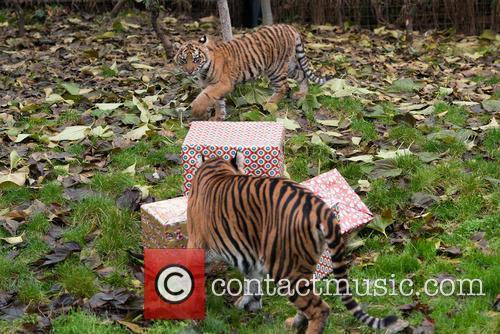 Sumatran Tigers 5