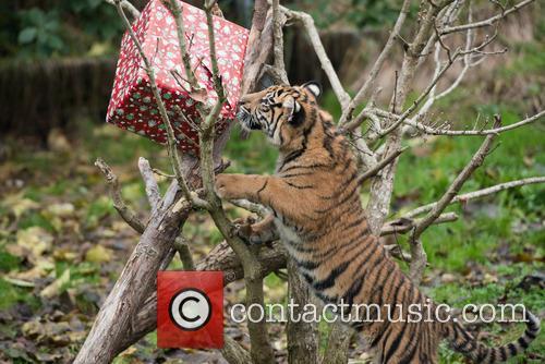 Sumatran Tigers 6