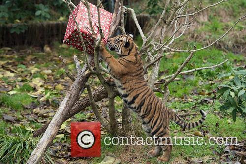 Sumatran Tigers 7