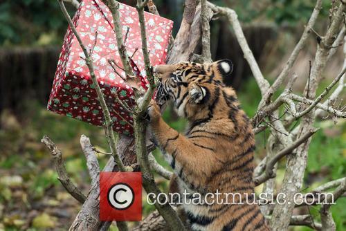 Sumatran Tigers 8