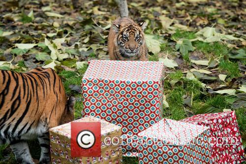 Sumatran Tigers 9