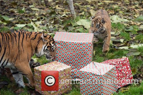 Sumatran Tigers 10