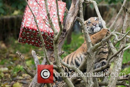 Sumatran Tigers 11