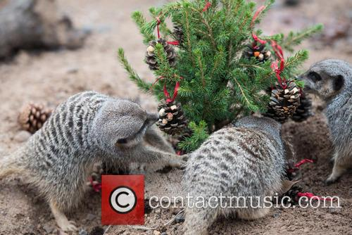 Meerkats 6