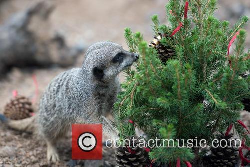 Meerkats 8