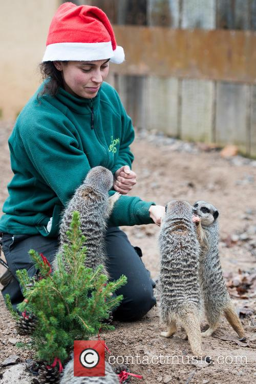 Meerkats 11