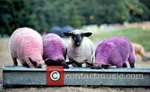 Atmosphere Of Purple Sheep Feeding From A Trough