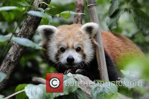 Biru, a 1-year-old red panda, rests in a tree in his new home at the Wildlife Conservation Society's Central Park...