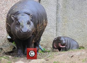 Ellen, the pygmy hippo, is celebrating Mother's Day this year with a brand new arrival. Baby Eve, born on New...