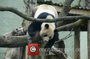 Panda and Yang Guang