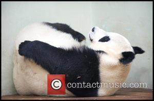 Panda and Tian Tian
