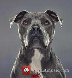 Junior the Pit Bull pet dog of Cesar Millan - Junior the Pit Bull pet dog of Cesar Millan Not A...