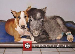 Bazinga the miniature horse and Butterbean the Bull Terrier - Twenty years ago Janice Wolf fulfilled her ambition of creating...