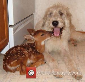 Duncan the Dog and Nabisco the Fawn - Twenty years ago Janice Wolf fulfilled her ambition of creating a rescue...