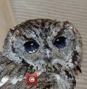 Zeus, the blind Western Screech Owl, has eyes that resemble a celestial scene telling a tragic tale. Thankfully, with a...