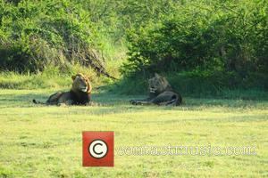 Male lions from Tembe Elephant Park.  African Parks to Translocate and Reintroduce Lions Into Akagera National Park Rwanda. . . African...