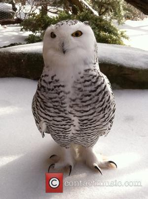 Snowy Owl and Nashville