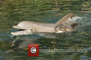 Discovery, Female Atlantic Bottlenose Dolphin and Born