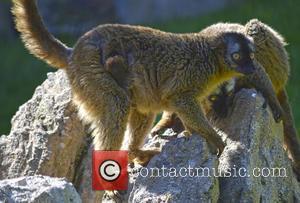 Brand New and Lemur