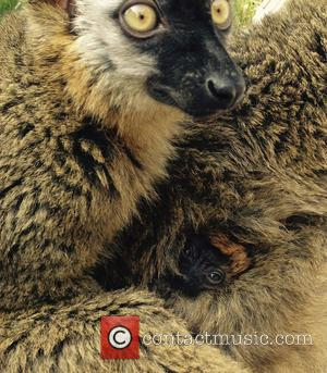 Native to the exotic island of Madagascar, this endemic species is threatened by habitat destruction and hunting. Lemurs are protected...