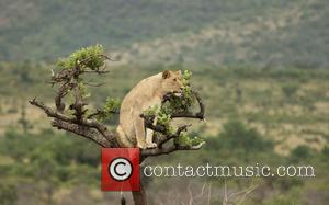 One of the five females in a tree at Phinda. African Parks to Translocate and Reintroduce Lions Into Akagera National Park...