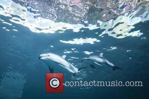 Dolphin Calf To Make, Public D and Shedd Aquarium