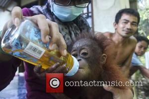 Atmosphere - A veterinary team from International Animal Rescue is fighting for the life of a baby orangutan in Borneo...