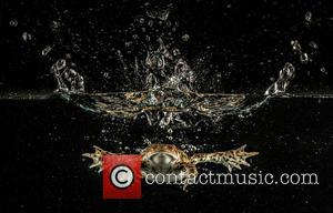Common Toad (Bufo bufo) Set Up Studio Shot. -