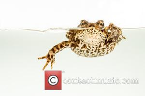 Common Toad (Bufo bufo) Set Up Studio Shot -
